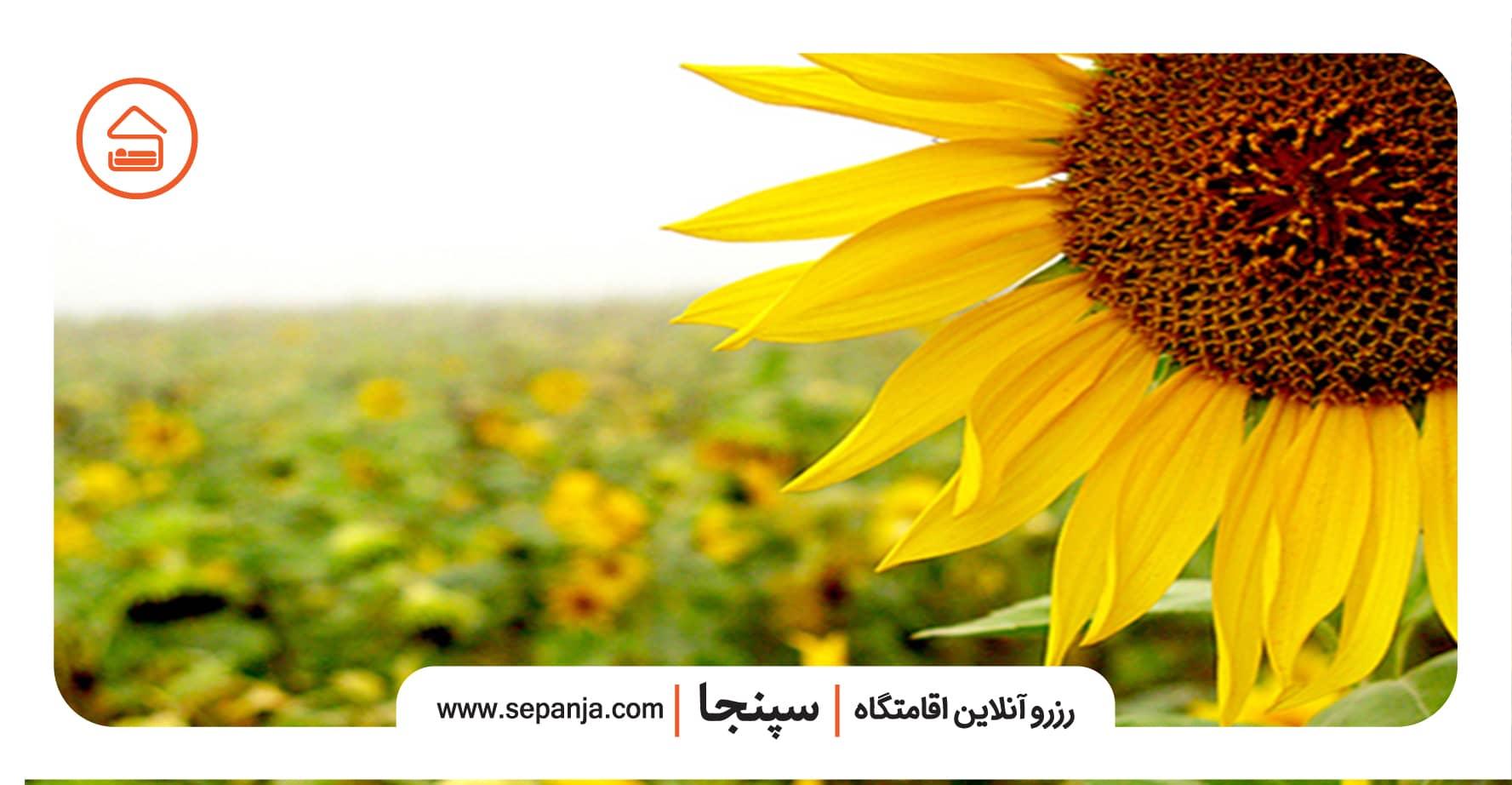دشت آفتابگردان از بهترین جاهای دیدنی استان سمنان