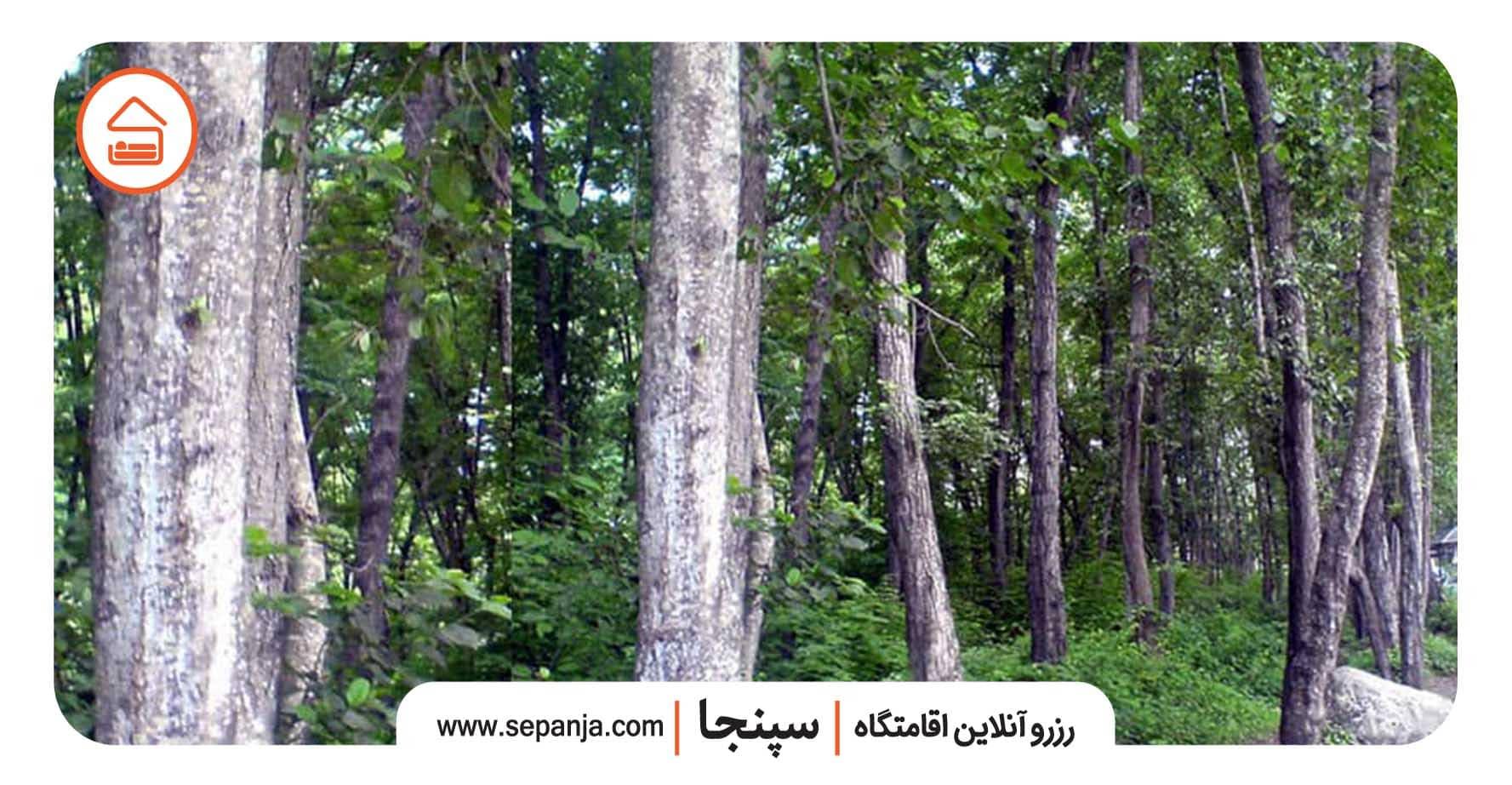 اقامت در جنگلهای فین چالوس