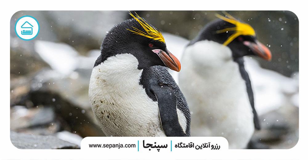 ۱۰.-پنگوئن-ماکارونی،-پرندگانی-تک-همسردار