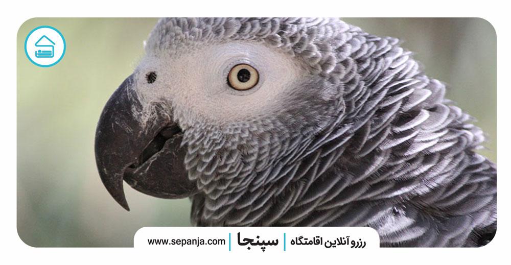 ۱-طوطی-خاکستری-آفریقایی