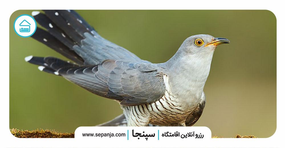 ۱.فاخته،-پرنده-ای-وفادار-و-دوست-داشتنی