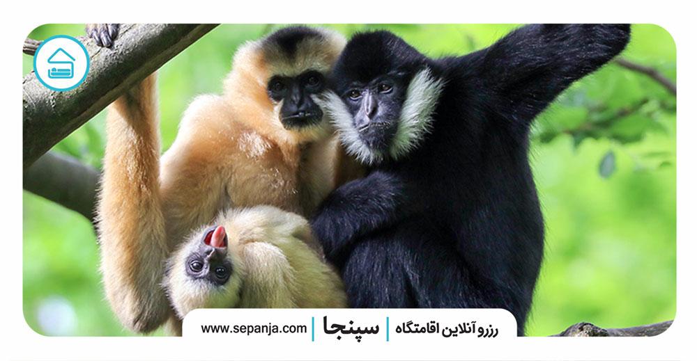۵.گیبونها،-میمون-هایی-وفادار-با-روابطی-محکم-و-عمیق