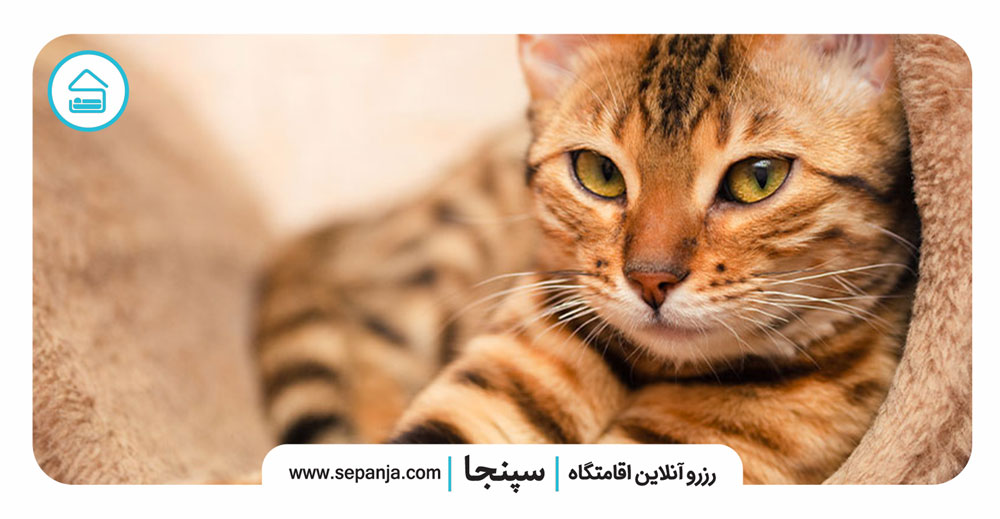 ۸-گربه-های-بنگال