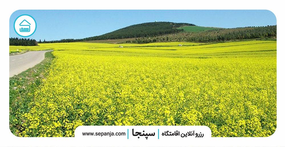 مزارع-کلزا-کرفون
